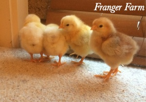 Our latest batch of 'chooklets'