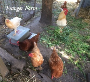 Franger Farm chooks.