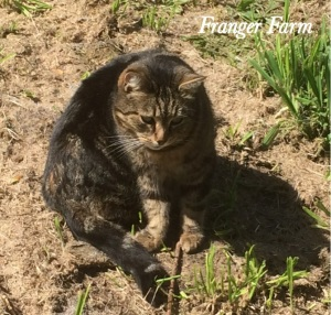 Snickers, farm cat.