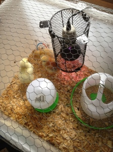 The brooder, with heat lamp and food and water containers.
