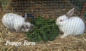 Our Franger Farm bunnies, Mushroom and Garlic.