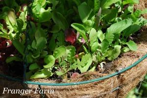 Fresh lettuce.