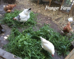Chickens do best on a varied diet of commercial layer pellets, grain, greens and leftovers from the kitchen.