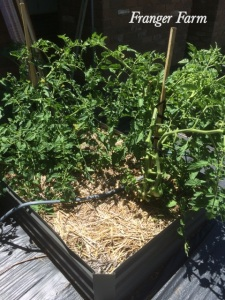 Tomato plants in a raised bed.