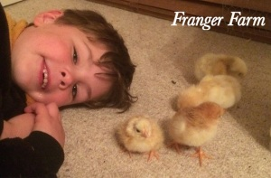 Chicks hatched in an incubator with be friendlier than those raised by a broody.