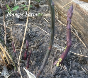 Edible shoots will emerge in the spring.