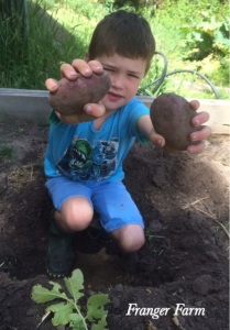 harvest your potatoes once the plants have flowered and begun to die back.