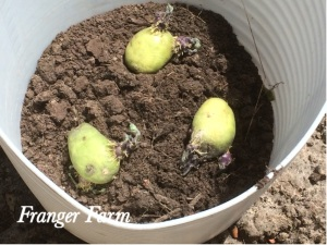 You can easily grow potatoes in a large container if you have no space in your garden.