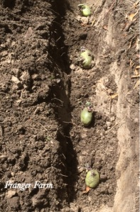 Dig a trench to plant your potatoes.