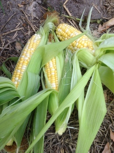 Sweetcorn can be planted in the sub tropics/tropics.