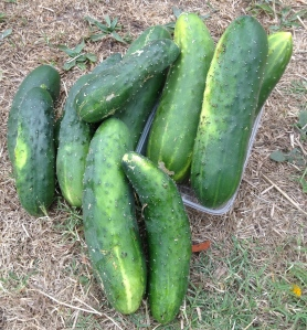 cucumber can be sown in sub tropical/tropical climates in March.